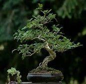 Zanthoxylum piperitum (Japanese Pepper or Sichuan Pepper) Bonsai