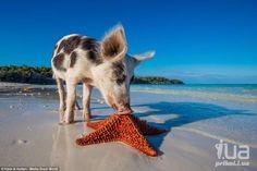 Piggy Island ,near Bahamas.**En una isla del archipiélago de las Bahamas los cerdos viven en familia, y cada año cientos de personas vienen aquí a verlos y hacerles compañía. Cerdos corren por la playa, toman  sol y nadan en las cálidas aguas agua turquesa cálida, a menudo se alejan de de la orilla por unos buenos 90 metros para saludar a los turistas en los yates.