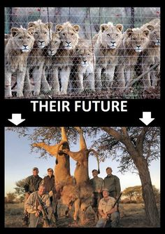 "HELP STOP CANNED HUNTING (SLAUGHTER) IN SOUTH AFRICA! The HSUS is an outspoken critic of canned hunting. In a statement, the HSUS called canned hunts ""cruel and brutal activities,"" in which the hunted animal has ""absolutely no chance of escape."" Some hunting groups, especially those who focus on hunters' ethics, also object to canned hunting. ENOUGH! PLZ Sign & Share Widely to Help STOP THIS VILE INDUSTRY!"