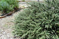 SmartScape Plant Details - Cotoneaster