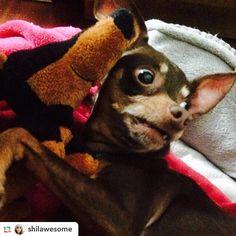 When you remember tomorrow is Monday...  : @shilawesome  ______________ #caseofthemondays #monday #mondaymorning #sunday #sundaynight #upset #grief #ohgodwhy #pleaseno #onemoreday #upsetdog #saddog #concerneddog #tireddog #sleepydog #workingdog #chihuahua #chihuhuas #chihuahuasofinstagram #chihuahualove