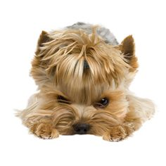 11 Things Only Yorkshire Terrier Owners Understand | Mine is a yorkiepoo and this is so true with every one haha