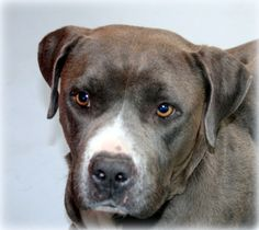 *ASHLEY - ID#A720679  Shelter staff named me ASHLEY.  I am a female, gray and white Pit Bull Terrier mix.  The shelter staff think I am about 4 years old.  I have been at the shelter since Jun 05, 2013.
