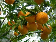 Mandarins from our grove