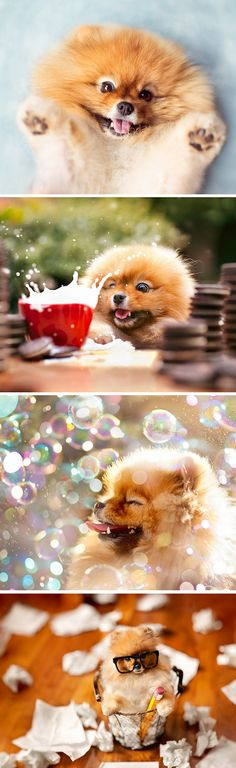 Pomeranian loving life! One play at a time!