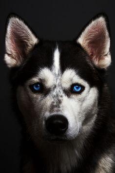 Husky | Photographer