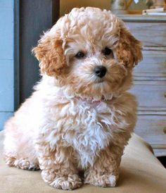 Like a mini teddy bear