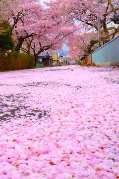 Cherry Blossoms covering ground