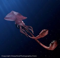 Apologise, Real giant squid