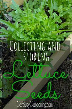 16 Best Medicinal Garden Images Wild Lettuce Plants