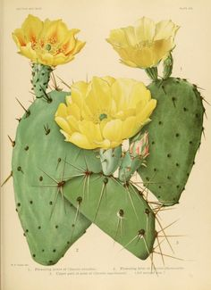 Plate XXV. Flowering opuntia cactus. The Cactaceae : descriptions and illustrations of plants of the cactus family. Vol. 1. 1919.