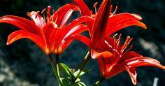 Como cuidar de lírios asiáticos no outono. Lírios asiáticos produzem flores grandes e coloridas em caules altos que não necessitam de apoio. Eles florescem no início ou meio do verão e estão disponíveis em uma variedade de cores e tipos de pétalas. Eles não são exigentes, crescem bem em quase todo o tipo de solo bem drenado. Como bulbos resistentes, elas florescem em jardins do norte e ...
