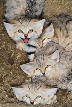 Sand cats avoid the heat of the day by resting in holes dug under rocks and bushes Pakistan Fluffy Kittens, Cute Cats And Kittens, I Love Cats, Big Cats, Beautiful Creatures, Animals Beautiful, Wild Cat Species, Baby Animals, Cute Animals