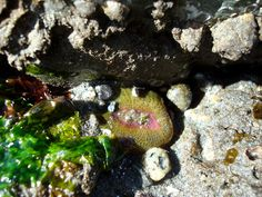 Pink-Tipped Green Anemone (also known as the Aggregating Anemone)