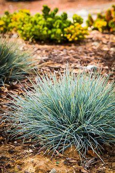 Elijah Blue Fescue Grass For Sale Online Landscaping Tips, Outdoor Landscaping, Outdoor Plants, Pond Plants, Succulent Plants, Shade Plants, Cactus Plants, House Plants, Fescue Grass