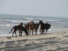 Outer Banks, NC. Wild horses on the beach.  I have been there and seen them! Very cool!