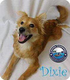 Arcadia, FL - Spitz (Unknown Type, Medium) Mix. Meet Dixie, a puppy for adoption. http://www.adoptapet.com/pet/17254479-arcadia-florida-spitz-unknown-type-medium-mix