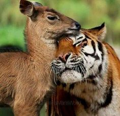 unlikely animal friends - Bing images Nature Animals, Animals And Pets, Baby Animals, Funny Animals, Cute Animals, Wild Animals, Artic Animals, Smiling Animals, Jungle Animals