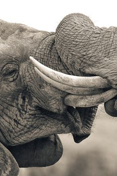 """Awww... Elephants sharing a sizzling kiss! Perfect love! <3 """"Gimme gimme gimme... an ele after midnight?"""" http://www.youtube.com/watch?v=XEjLoHdbVeE"""