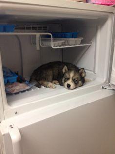 Este pequeno husky se refrescando num dia de verão.