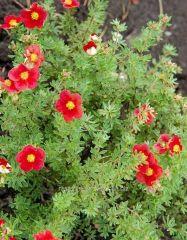 """Képtalálat a következőre: """"díszbokrok"""" Robin, Herbs, Plants, Red, Herb, Plant, European Robin, Robins, Planets"""