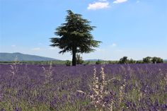 Where to see Lavender in Provence : The Good Life France