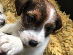 Een pup van, Van Berkeloord 5,5 weken oud.