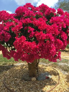Bougainvillea, a popular plant in Florida Trees And Shrubs, Flowering Trees, Trees To Plant, Unique Trees, Colorful Trees, Exotic Flowers, Beautiful Flowers, Bonsai For Beginners, Bougainvillea Bonsai