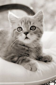 Gray Kittens | ... example of beautiful cat eyes. Who would NOT love such a kitten