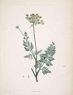 71831 Daucus carota L. / Rousseau, J.J., La botanique de J.J. Rousseau, t. 28 (1805) [P.J. Redouté]