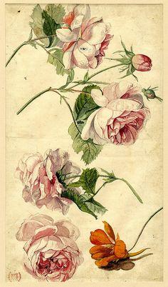 Jan van Huysum (Drawn by); Flower studies, formerly in an album; pink roses in full-bloom and an orange flowerhead below Watercolour