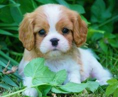 Cavvie Puppies , Are soooo Cute.