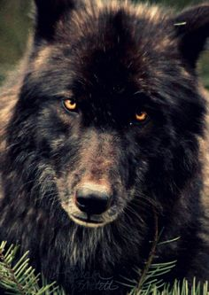 Black Wolf's StarebyLittle Lioness