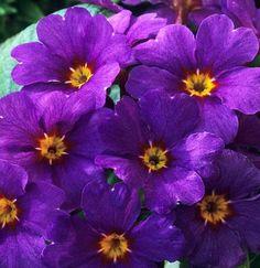 primrose Primula vulgaris 'Ingram's Blue'