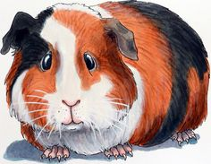The Guinea Pig from Roxie Munro's Spring 2018 book, Rodent Rascals, with Holiday House.