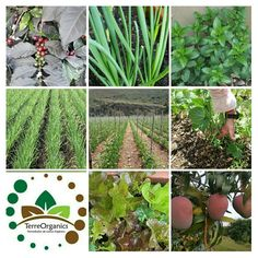 Suelos sanos, cultivos sanos para una vida sana.  TerreOrganics #biorremediadordesuelos   100% orgánico, No tóxico, 100% amigable con el medio ambiente✔  Los suelos sanos son la base para la producción de alimentos saludables  Se estima que el 95% de nuestros alimentos se producen directa o indirectamente en nuestros suelos.   Los suelos sanos son el fundamento del sistema alimentario. Nuestros suelos son la base de la agricultura y el medio en el que crecen...más información síguenos en…