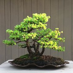 Old Japanese larch bonsai group.at least 40 years as a bonsai. I'm the second owner and have been working with it for four or five years.  It was originally created by a bonsaiist in Brooklyn. Hope she'd be ah pot with its progress. #bonsai #bonsaishinsei by OpenEye