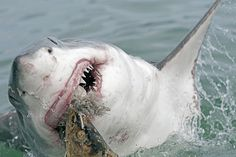 These fascinating great white shark facts will have you reconsider everything you thought you knew about the ocean's apex predator. Great White Shark Facts, Great White Shark Attack, Jones Beach, Animal Attack, White Whale, Apex Predator, Megalodon, The Great White, Killer Whales