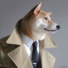 Dogs Who Deserve More Followers Than You: Bodhi The Menswear Dog – if it's hip, it's here Funny Dogs, Cute Dogs, Funny Animals, Cute Animals, Shiba Inu, Menswear Dog, Dog Presents, Working Dogs, Akita