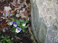 """""""Blue and White Violas"""" by Sandra Clayton in BloomsGardensLawnsTrees on Sandra Clayton's Art and Photography"""