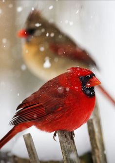 petitpoulailler:    fairy-wren: Northern Cardinals;photo by kevin fleming)