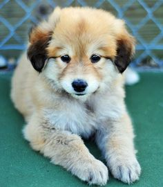 Golden Retriever/German Shepherd mix aka the dog Mike and I need since we're arguing between the two!