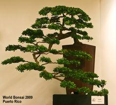 World Bonsai Convention 2009 | Aido Bonsai