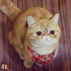 Uh that's my pie you're eating.  #exoticshorthair #cat #cute #flatface #kitten #meow #pet #mreggs #catlover #exoticsofinstagram #smushface #weeklyfluff #sirpumpkin