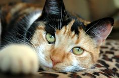 calico cats | The rich, stunning colors of a calico cat are simply beautiful.
