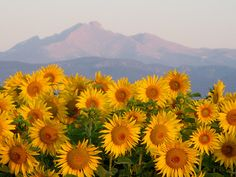 sunflowers and long's peak at sunrise