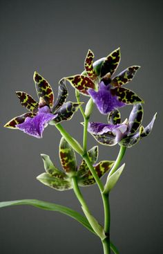 Zygopetalum Hybrid Orchid   Zygopetalum Hybrid. Great scent, very strong. Prefers cooler temps than other orchids.