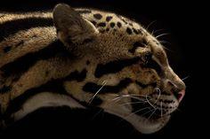 Big Cats by Vicent J. Musi   Comunicadores