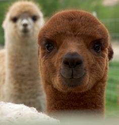 cute alpaca
