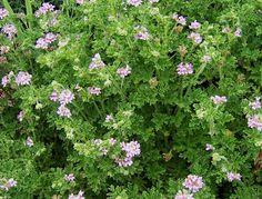 The 2 Minute Gardener: Photo - Rose Scented Geranium (pelargonium graveolens)